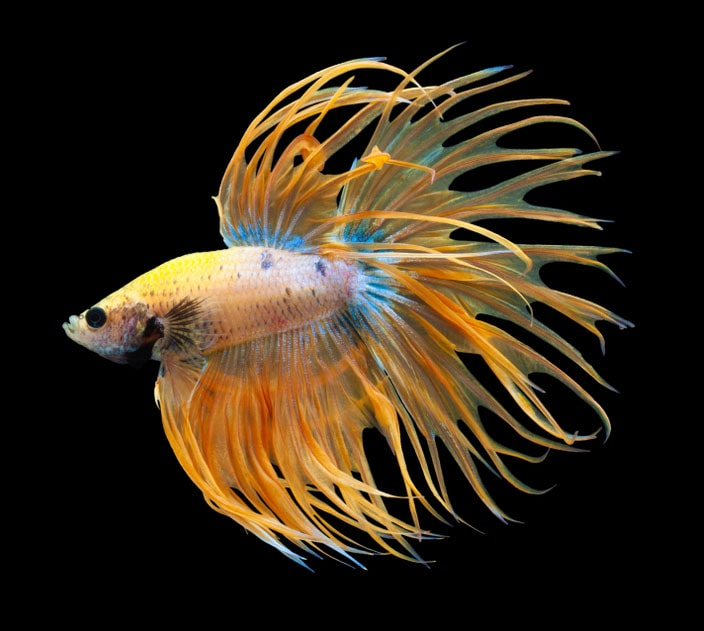 betta splendens Betta Crowntail - queue de couronne