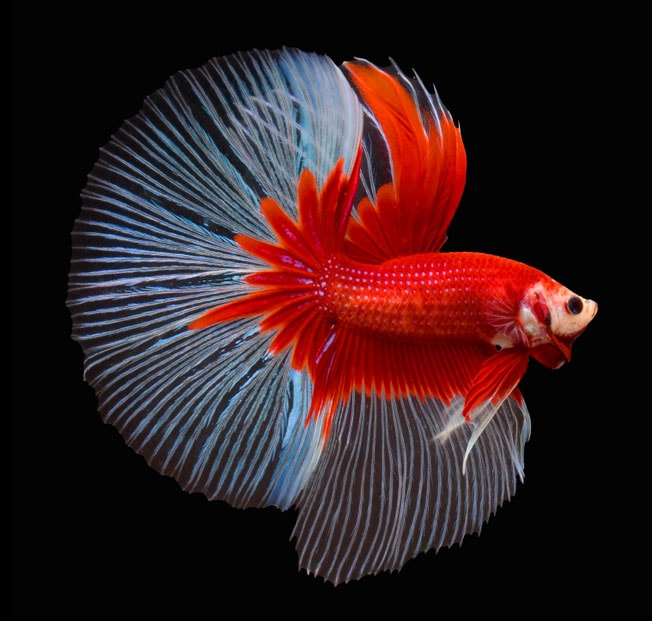 betta splendens betta halfmoon- Queue demi-lune