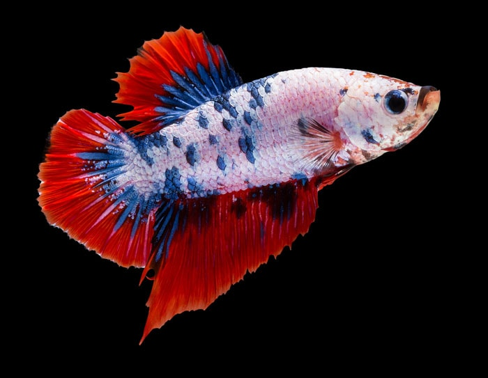 betta splendens plakat