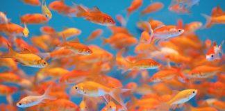 La reproduction du poisson rouge en aquarium