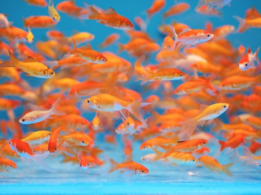 La reproduction du poisson rouge en aquarium