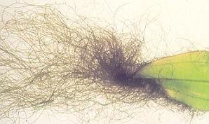 Algues à Barbes (vert sombre noir)