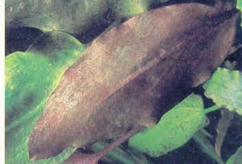 Algues brunes ou marrons (Bacillariophyceae)
