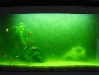 Algues unicellulaires (eau verte)