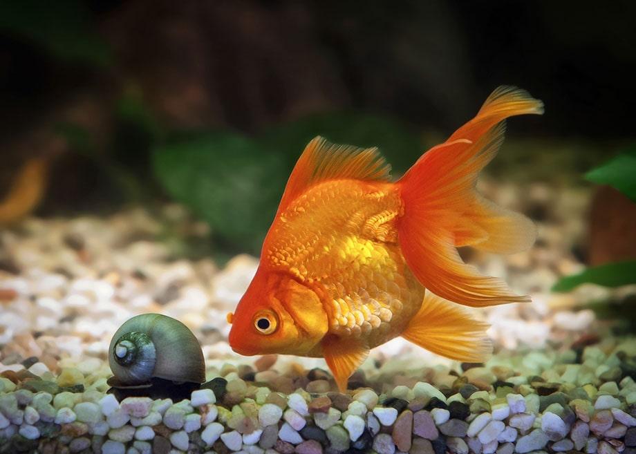 Comment faire pour garder un poisson rouge en vie