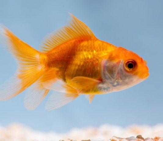 Comment maintenir le poisson rouge