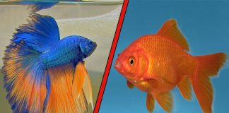 Débuter avec un poisson rouge ou un combattant