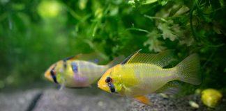 La maintenance des poisson Apistogramma