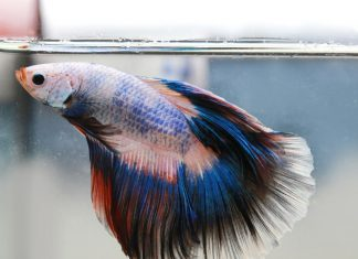 La maintenance d'un betta splendens
