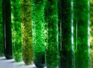 Les différentes algues d'aquarium
