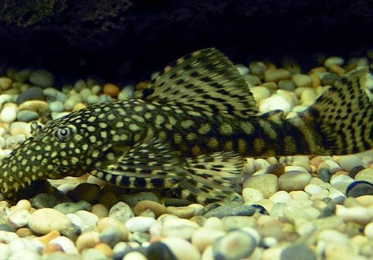 poisson Ancistrus multispinis