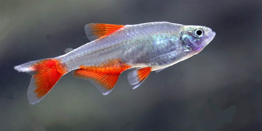poisson Aphyocharax anisitsi