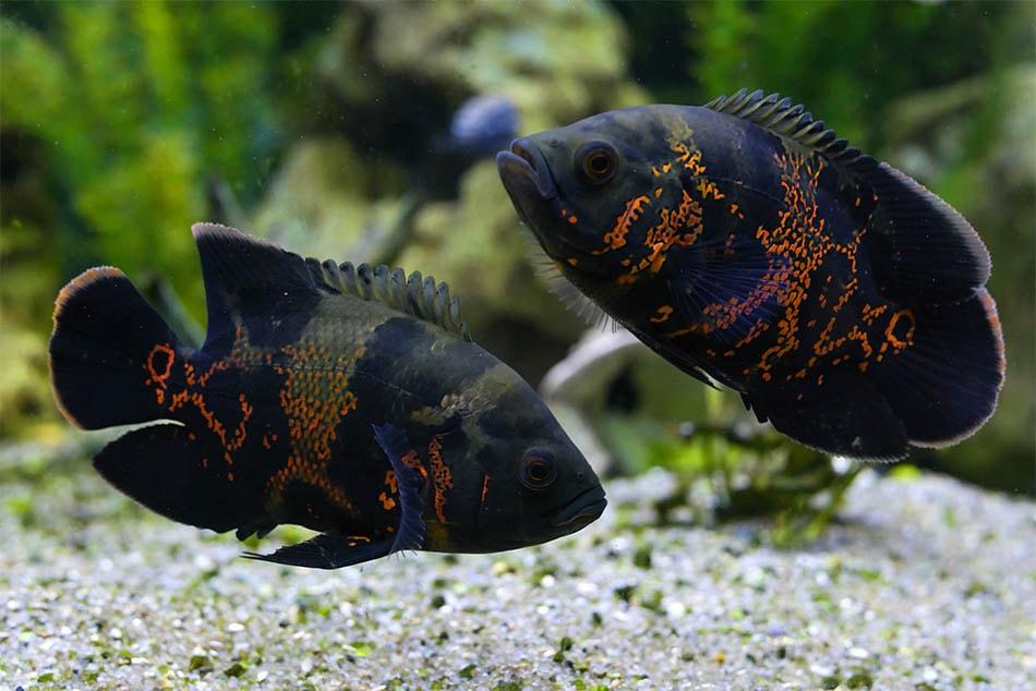 poisson Astronotus ocellatus