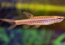 poisson Copella nattereri