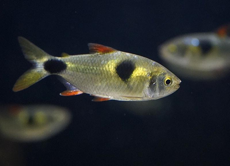 poisson Exodon paradoxus
