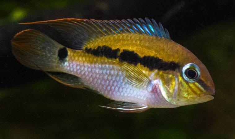poisson Krobia itanyi