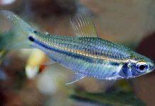 poisson Neolebias unifasciatus