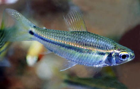 poisson Neolebias unifasciatus