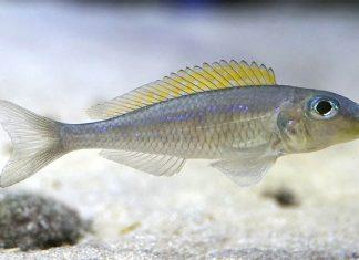 poisson Xenotilapia flavipinnis