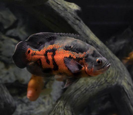 poisson oscar