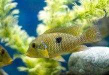 Géophagus perlé du brésil