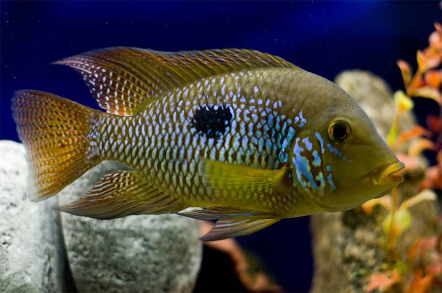 poisson Geophagus brasiliensis