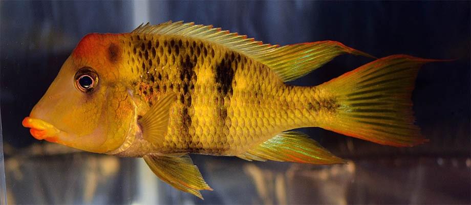 poisson Geophagus pellegrini