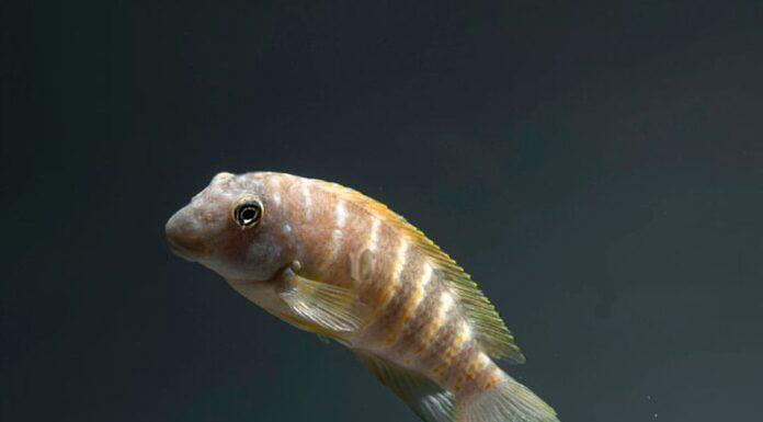 poisson eretmodus cyanostictus