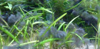 Pour se débarrasser des algues bleues