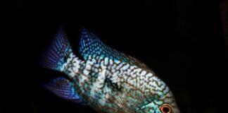 Herichthys carpintis (2)