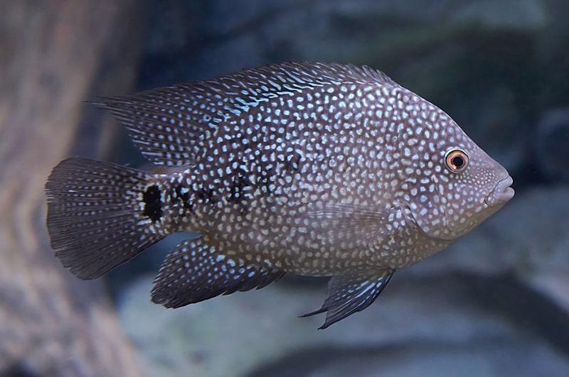 Herichthys cyanoguttatus (1)