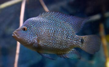 Herichthys cyanoguttatus (2)
