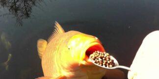 Savoir bien nourrir ses poissons