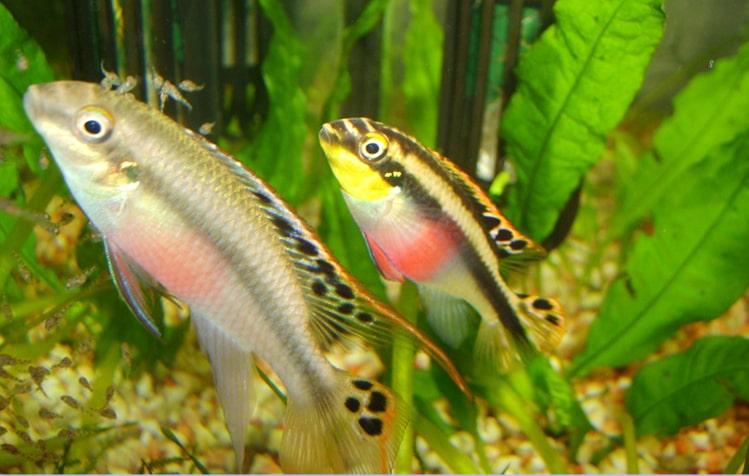 Un couple Pelvicachromis Pulcher avec leurs petits