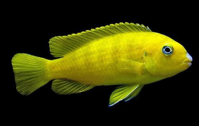femelle poisson Pseudotropheus saulosi
