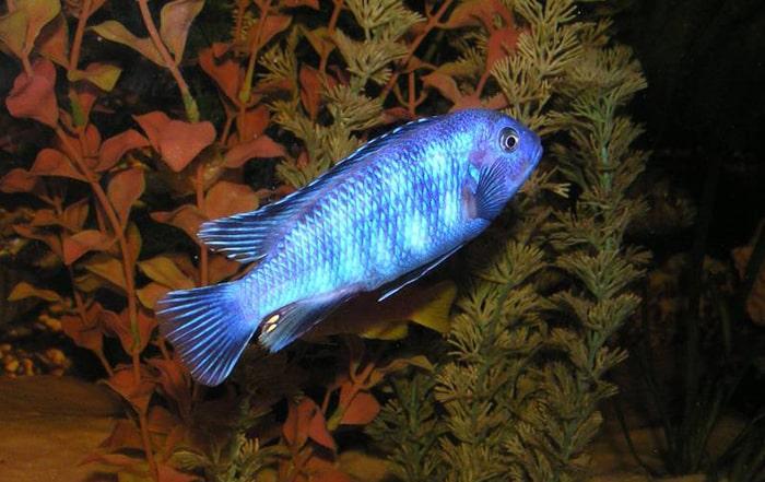male poisson Pseudotropheus saulosi