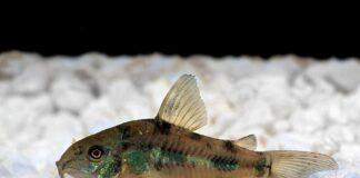 poisson Corydoras paleatus (1)