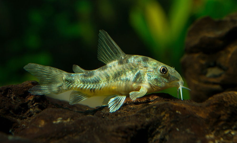 poisson Corydoras paleatus (2)