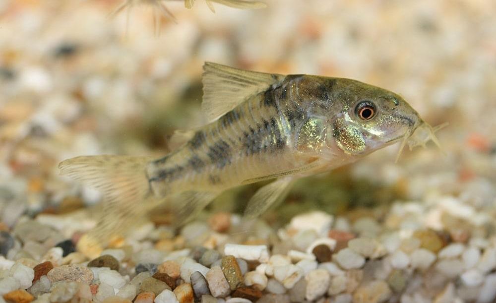 poisson Corydoras paleatus (3)