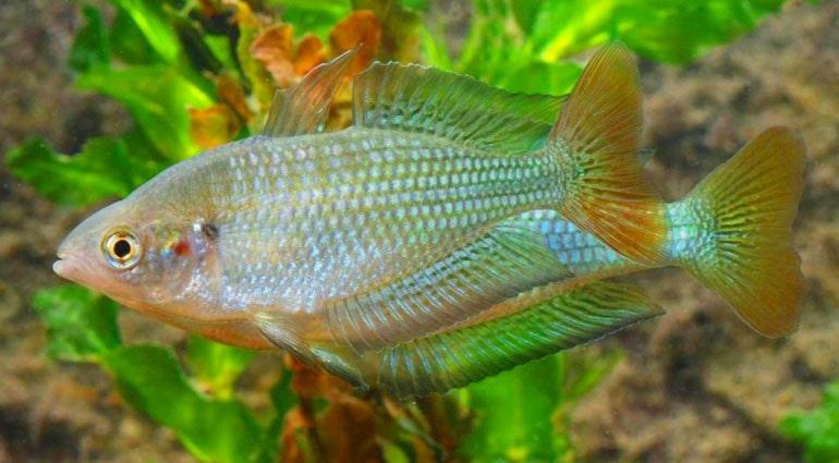 poisson Melanotaenia fluviatilis (1)