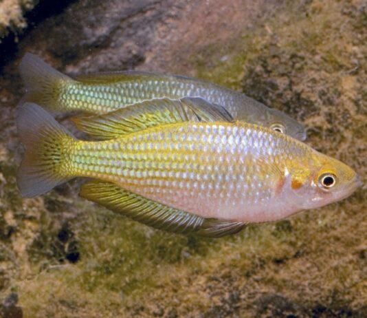 poisson Melanotaenia fluviatilis (2)