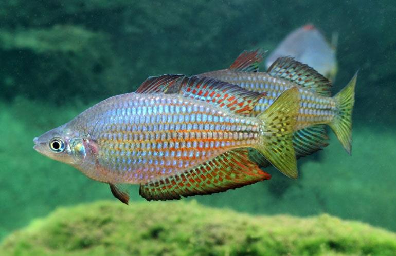 poisson Melanotaenia splendida inornata (2)