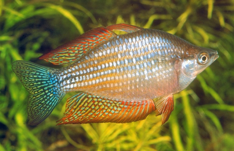 poisson Melanotaenia splendida inornata