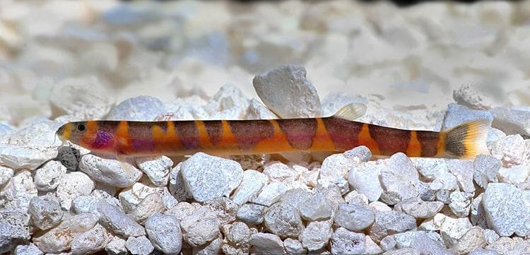 poisson Pangio kuhlii (2)