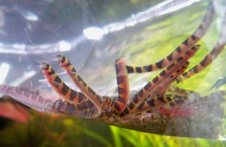 poisson Pangio kuhlii (3)