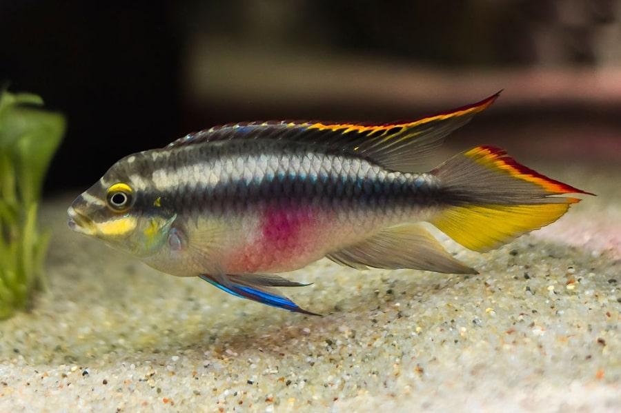 poisson Pelvicachromis pulcher (2)