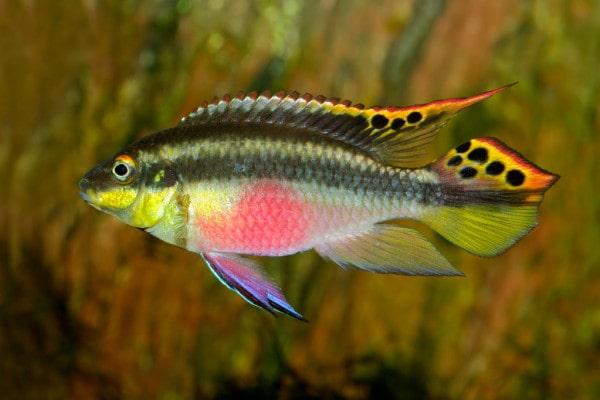 poisson Pelvicachromis pulcher (4)