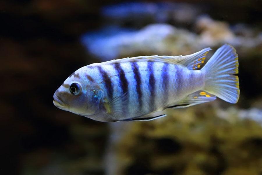 poisson Pseudotropheus saulosi