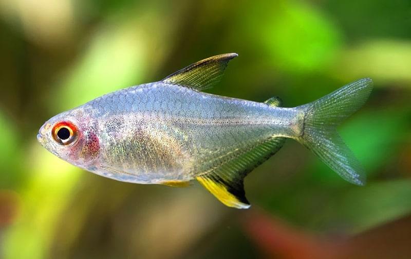 Hyphessobrycon pulchripinnis