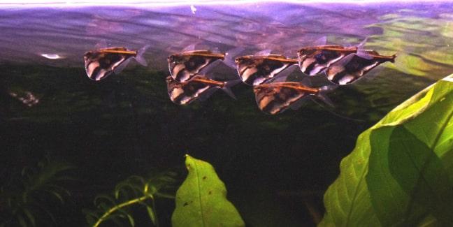 Poisson hachette marbré